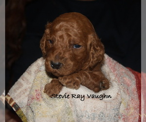 Poodle (Standard) Puppy for sale in CLEARWATER, FL, USA