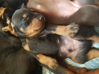 Doberman Pinscher Puppy For Sale in POQUOSON, VA, USA