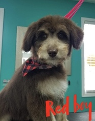 Aussiedoodle Puppy For Sale in CASEY CREEK, KY, USA