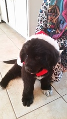 Newfoundland Puppy for sale in WINDERMERE, FL, USA