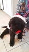 Newfoundland Puppy For Sale in WINDERMERE, FL