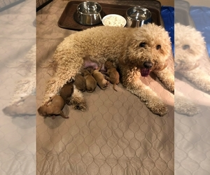 Mother of the Goldendoodle puppies born on 02/15/2021