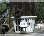 Puppy 2 Dutch Shepherd Dog