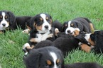 Bernese Mountain Litter