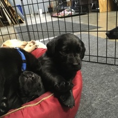 AKC Registered Black Lab Male Puppies