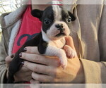 Puppy 4 Boston Terrier