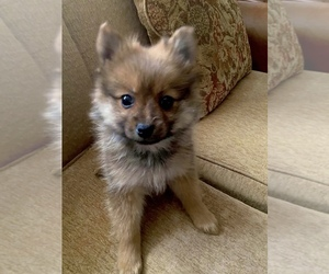 Pomeranian Puppy for sale in MOUNT CLEMENS, MI, USA