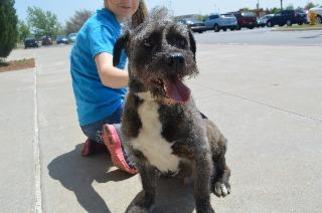 Bode - Schnauzer / Terrier / Mixed Dog For Adoption