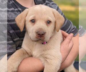 Labrador Retriever Puppy for sale in ARLINGTON, KS, USA