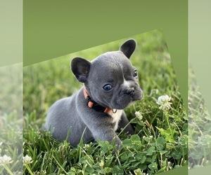 French Bulldog Puppy for sale in FREDERICKSBRG, TX, USA