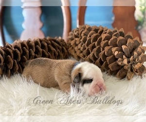 Bulldog Puppy for sale in OOLOGAH, OK, USA
