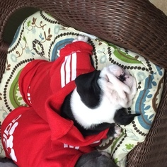 Bulldog Puppy For Sale in FOWLERVILLE, MI