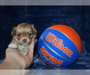Chihuahua Puppy for Sale in HAMPTON, Virginia USA