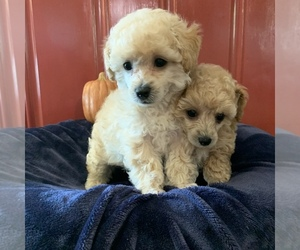 Poodle (Toy) Puppy for sale in FAIRVIEW, MO, USA
