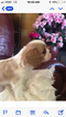 Cavalier King Charles Spaniel Puppy For Sale in KAYSVILLE, UT, USA