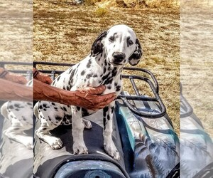 Dalmatian Puppy for Sale in SPOKANE, Washington USA