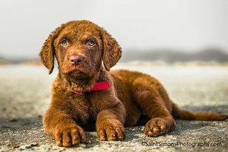 Chesapeake Bay Retriever Puppy For Sale in FERNANDINA BEACH, FL