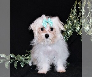 Maltese Puppy for sale in ROCK VALLEY, IA, USA