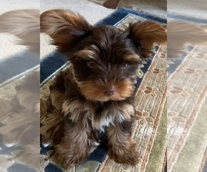 Yorkshire Terrier Puppy for Sale in ORLANDO, Florida USA