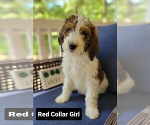 Bernedoodle-Poodle (Standard) Mix Puppy for Sale in ARAGON, Georgia USA