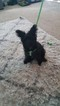 Poodle (Standard)-Yorkshire Terrier Mix Puppy For Sale in SAVANNAH, GA, USA