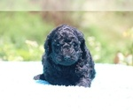 Small #32 Poodle (Standard)