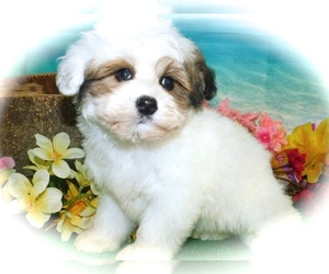 ShihPoo Puppy for Sale in HAMMOND, Indiana USA
