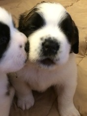 Saint Bernard Puppy For Sale in PLAINFIELD, IN, USA