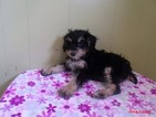 Poodle (Toy)-Schnauzer (Giant) Mix Puppy For Sale in PATERSON, NJ