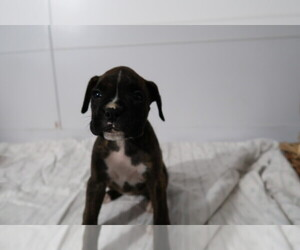 Boxer Puppy for sale in LOUISVILLE, KY, USA