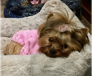 Mother of the Yorkshire Terrier puppies born on 09/26/2020