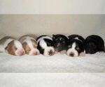 Small Photo #1 Australian Shepherd Puppy For Sale in CARMEL, IN, USA