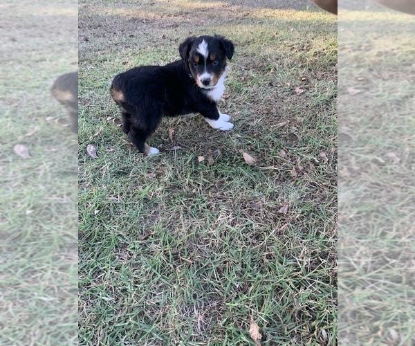 Medium Photo #1 Miniature American Shepherd Puppy For Sale in OVERBROOK, OK, USA