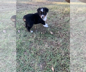 Miniature American Shepherd Puppy for sale in OVERBROOK, OK, USA