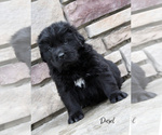 Puppy 10 Newfoundland