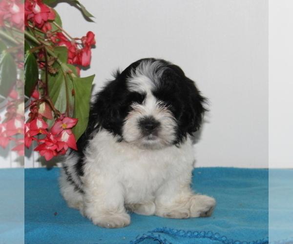 Medium Photo #1 Zuchon Puppy For Sale in QUARRYVILLE, PA, USA
