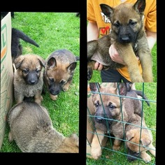 Malinois Puppy For Sale in POLAND, NY