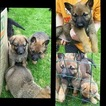 Shepinois Puppies