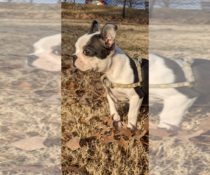 Boston Terrier Puppy for sale in NORCROSS, GA, USA
