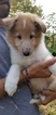 Collie Puppy For Sale in CENTERVILLE, NC, USA