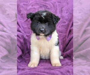 Akita Puppy for sale in CHRISTIANA, PA, USA