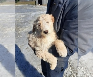 Poodle (Standard) Puppy for sale in CLARKRANGE, TN, USA