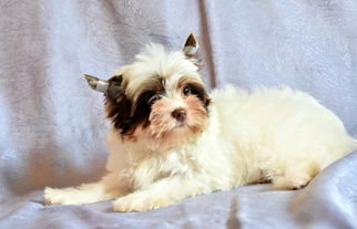 Yorkshire Terrier Puppy for sale in Dnipro, Dnipro, Ukraine