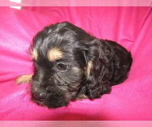 Cavapoo Puppy for sale in KOKOMO, IN, USA