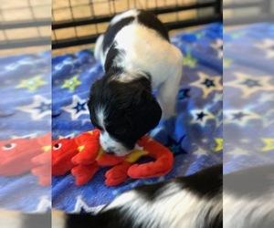 English Springer Spaniel Puppy for Sale in JASPER, Georgia USA