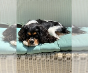 Mother of the Cavalier King Charles Spaniel puppies born on 10/09/2020