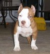 American Pit Bull Terrier-American Staffordshire Terrier Mix Puppy For Sale in SICKLERVILLE, NJ