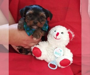 Yorkshire Terrier Dog for Adoption in INVERNESS, Florida USA