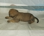Small #46 Mastiff