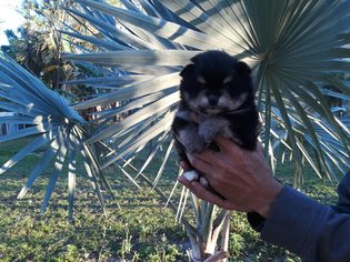 View Ad Pomeranian Puppy For Sale Florida West Palm Beach Usa
